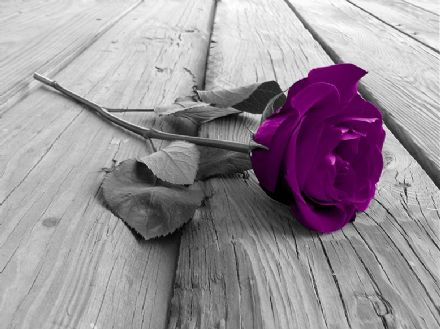 Wallpaper mural purple rose flower